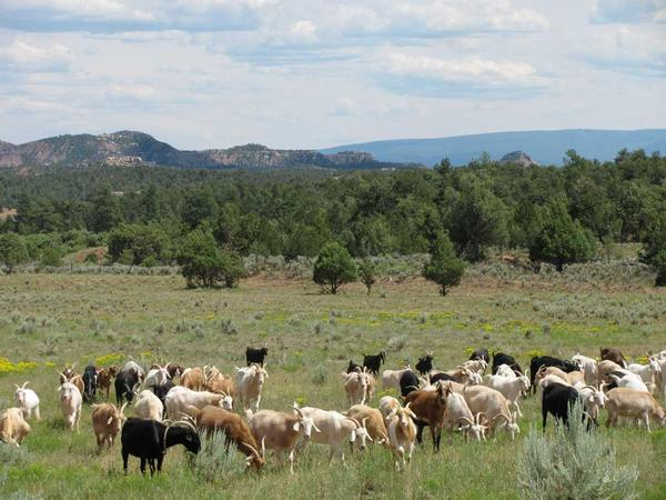 Cashmere herd